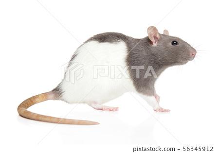 Decorative rat on white background 56345912