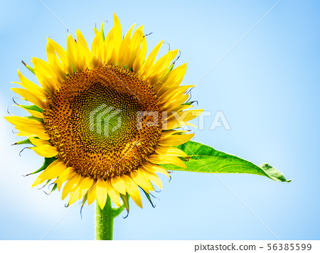 Sunflowers and blue sky 56385599