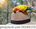 Sun conure parrots playing on hat. 56389256