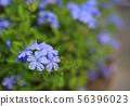 Close-up cape leadwort (Plumbago auriculata) 56396023
