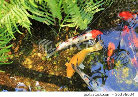 Koi fish swimming in pond. 56396034