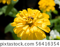 Zinnia and bee 56416354