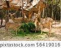 鹿 动物 小鹿 56419016