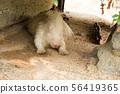 動物 哺乳動物 囓齒類的 56419365