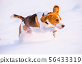 Dog run Beagle fun in snow 56433319