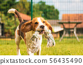 Dog run Beagle fun 56435490