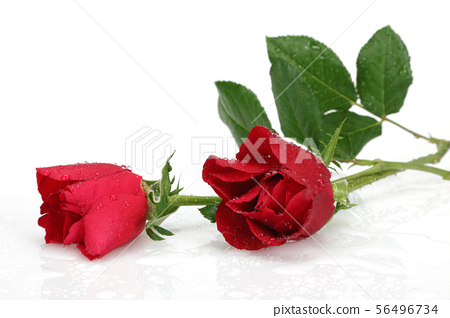 Red rose with leaves and water drop isolated 56496734