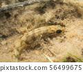 Ninespine Stickleback fish (Pungitius pungitius) 56499675