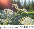 White Cow parsley flowers 56499729