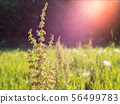 Dock plant at green hay field with backlight lens flare 56499783