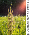 Dock plant at green hay field with backlight lens flare 56499811