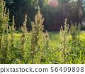 Dock plants growing on hay field 56499898