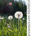 Dandelion flowers with seeds at hayfield 56500014
