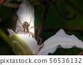 Brown spider is perched on bloom of white flower 56536132