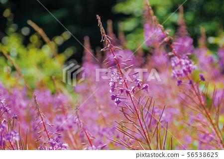 willow herb purple flowers closeup 56538625