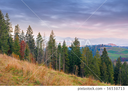 spruce forest on the hill at dusk 56538713