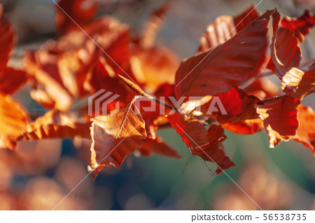 reddish brown foliage of a beech tree 56538735
