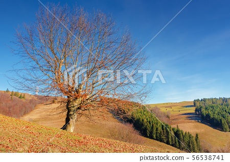 beech with fallen foliage on the hill 56538741