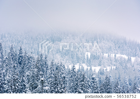 coniferous forest in snow and hoarfrost 56538752