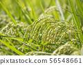 Inaho Rice Rice作物圖像素材背景材料 56548661