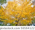 在大阪城公园的银杏树 56564122