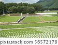 【나가노 현 신슈 타케] 가와카미 촌 양상추 밭 여름의 고원 이미지 56572179