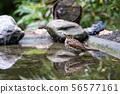 An Common blackbird 56577161
