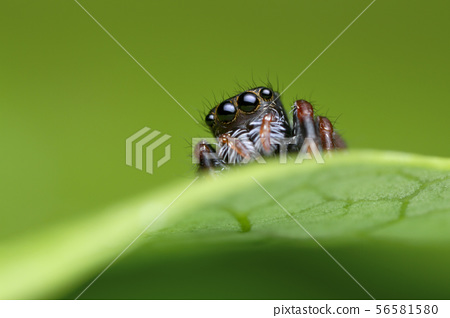 jumping spider on green leaf in nature 56581580