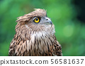 close up eagle owl in nature 56581637