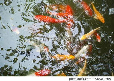 beautiful japan carp swimming in the pond.  56581769