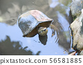 turtle in water 56581885