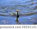 수영 가마우지 (강 Cormorant) 56591141