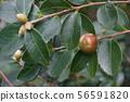 Lu Shan Snow tea oil camellia fruit 56591820