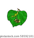 Linden tree leaf 56592101