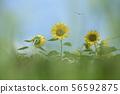 Sun Flower 56592875
