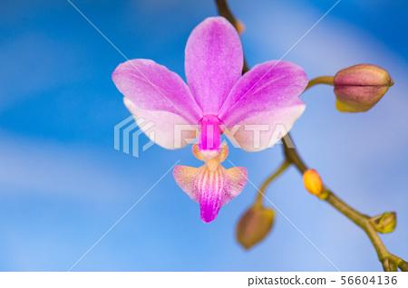 花卉圖片 56604136