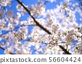 토론토의 벚꽃 56604424