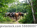 Cattle herd on a crowded cattle trail in a lush 56606097