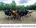 Curious cattle herd in a forest glade 56606098