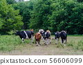 Cattle herd are running in a forest glade 56606099