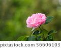One pink rose closeup 56606103