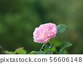 Single pink rose close up 56606148