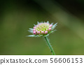 Summer flower bud close up by a green background 56606153