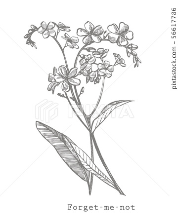 Forget-me-not flowers. Botanical illustration. Good for cosmetics, medicine, treating, aromatherapy 56617786