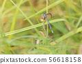 Spearhead Bluet resting on plant in meadow. 56618158
