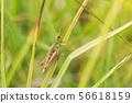 Grasshopper clinging to a blade of grass closeup 56618159