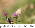 Meadow brown butterfly on purple flower closeup 56618161