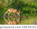 Fox on the edge of a lake surface 56618162