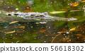 Crocodile in a lagoon in Costa Rica 56618302