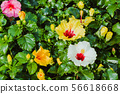 Beautiful of colorful hibiscus flowers  56618668